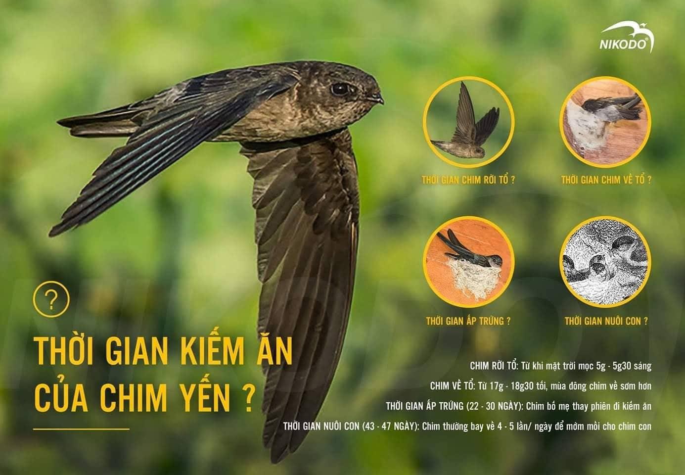 Thời gian kiếm ăn của chim yến